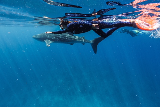 Whale Shark in Exmouth, Western Australia