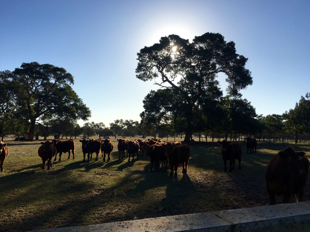 Cattle Farm in Australia