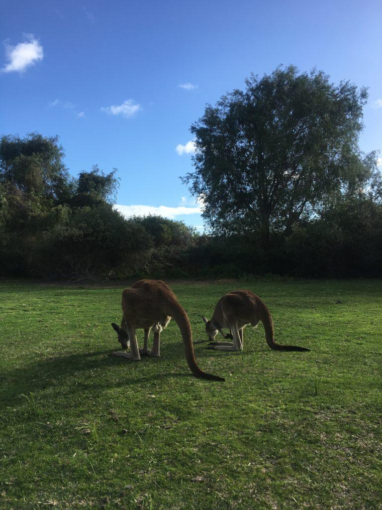 Kangaroos in Yanchep Narional Park, WA